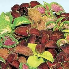 Flower Seeds Online - buy flora fields coleus rainbow mix seeds online india buy