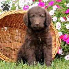 afghan hound poodle cross standard poodle mix puppies for sale