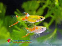 endler guppy fish guppy fish for sale view fancy guppies fish