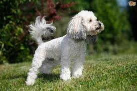 Do Cockapoo Dogs Shed A Lot by Poochon Dog Breed Information Buying Advice Photos And Facts