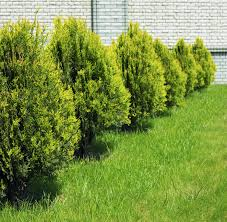 growing lemon cypress trees u2013 lemon cypress houseplant care and