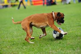 3 best boxer dog toys simply for dogs