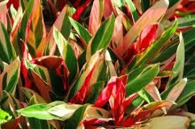 ti plant hawaiian ti plant luck tree cordyline plant