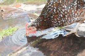 water in the winter backyard chickens