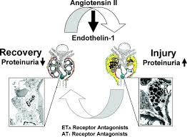 role of endothelin receptors for renal protection and survival in