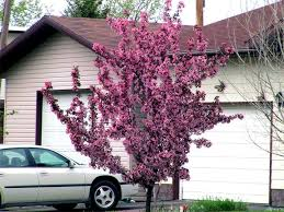 ornamental crabapple tree