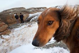 tazy speedy dog of the steppes in a race against extinction
