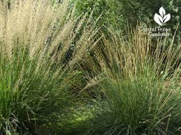 clumping grasses central gardener