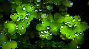 four leaf clover cute wallpapers iphone good luck transparent