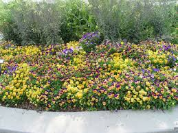 yardsmart try dainty tasty violas in your garden
