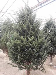 christmas tree delivery christmas s nursery and garden centre