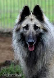 belgian sheepdog youtube belgian sheepdog youtube