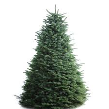 shop 6 7 ft fresh noble fir tree at lowes