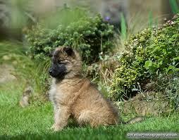 belgian sheepdog puppies for sale belgian shepherd puppies for sale tervueren milton keynes