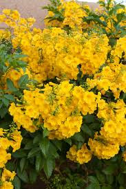 Yellow Flowering Bushes And Shrubs Gold Star Esperanza Monrovia Gold Star Esperanza