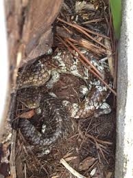 are bobtail lizards monogamous thebobtailandthebeautiful