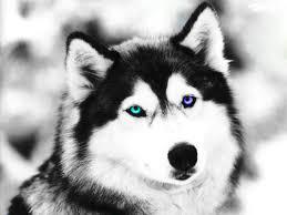 black and white wolf by jumpinwombango on deviantart