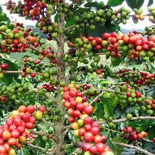 plants native to china países del mundo y sus flores nacionales coffea arabica coffee