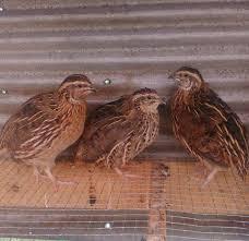 5 reasons to start raising quail countryside network