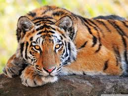 animal wallpaper beautiful tiger wallpapers desktop free download