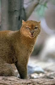 Texas wild animals images 105 best jaguarundi aka otter cat images pumas big jpg