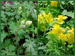 native plant nursery pa wild columbine carolyn u0027s shade gardens