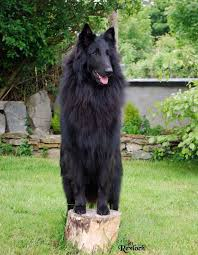 belgian shepherd malaysia 16 best dogs images on pinterest animals beautiful dogs and