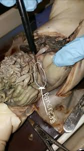 fetal pig disection anatomy u0026 physiology pinterest pigs
