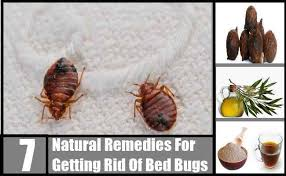 how can you get rid of bed bugs 7 natural remedies for getting rid of bed bugs how to get rid of