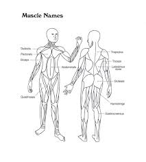 the muscular system coloring pages many interesting cliparts
