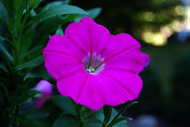 petunia flowers petunia flowers petunia flower pictures meanings