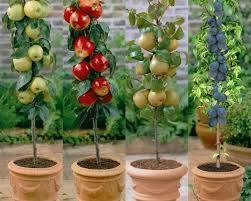 apple pear patio fruit trees saga garden centre within tree decor 2