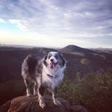 3 winds ranch australian shepherd pin by cortney hardy on australian shepherd puppy pinterest