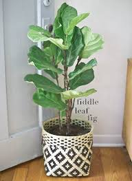 choosing the best indoor plants for your interior fiddle leaf