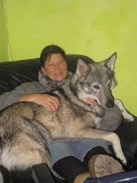 belgian shepherd x alaskan malamute 32 best dogs images on pinterest animals beautiful dogs and dog