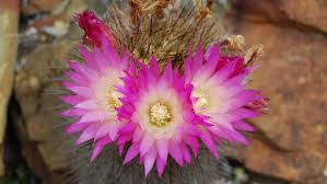 plants native to mexico the cactus smuggler are desert plants being loved to extinction