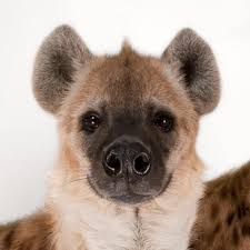 spotted hyena national geographic