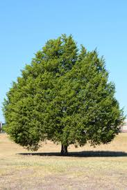 native plants to texas tree species profiles shade trees eastern red cedar