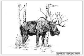 drawn moose bull moose pencil and in color drawn moose bull moose