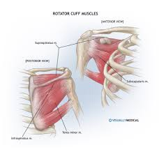 Anatomy Of Shoulder Muscles And Tendons Human Anatomy Shoulder Muscle Anatomy Our Hand Is Consisted Of