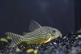 types of aquarium sterba u0027s corydoras wikipedia