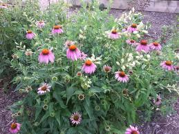 native plants to illinois welcome to meadowsweet native plant farm home