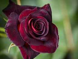 black roses for sale almost black ug99