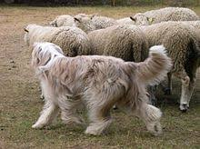 bearded collie brown bearded collie wikipedia