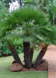 arizona desert palm trees ornamental desert trees by western