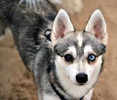 american eskimo dog blue eyes alaskan klee kai dog breed information and pictures