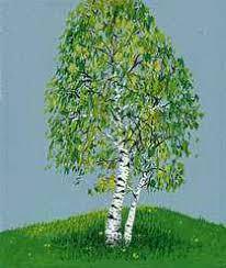 birch tree britannica