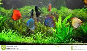 Home Aquarium Fresh Water Home Aquarium With Discus Fish Royalty Free Stock