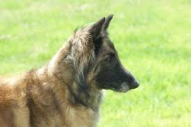 belgian shepherd ohio photo gallery ohio valley belgian tervuren club
