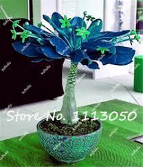 money tree plants money tree plants for sale
